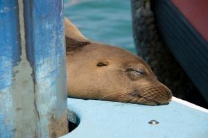 Se aLion, Galapagos